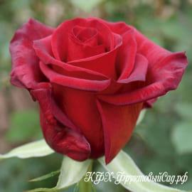 Роза Ред Париж