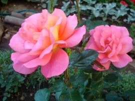 Роза Шанти