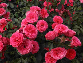 Роза Шраб малиновый