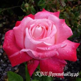 Роза Стелла
