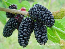 Шелковица черная (привитая)