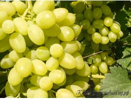 Виноград Долгожданный (скороспелый)