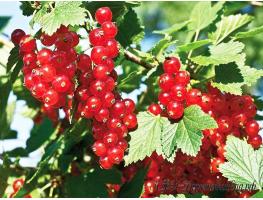 Красная смородина Сахарная