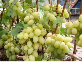Виноград Богатяновский