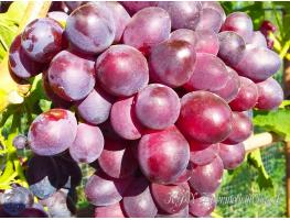 Виноград Придорожный