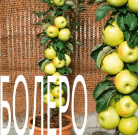Яблоня Болеро колоновидная