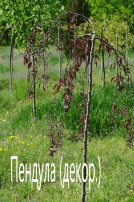 Яблоня декоративная Пендула