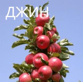Яблоня Джин колоновидная