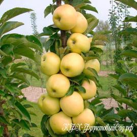 Яблоня Медовая (Медуница)