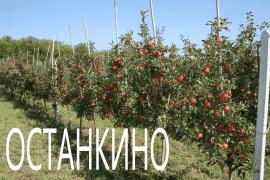 Яблоня Останкино колоновидная