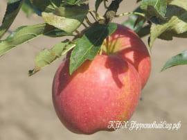 Яблоня Прикубанская