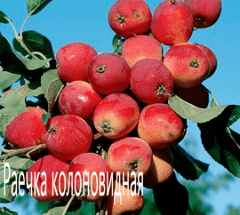 Яблоня Раечка колоновидная