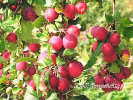 Яблоня Ранетка летняя