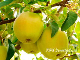 Яблоня Снежный Кальвиль