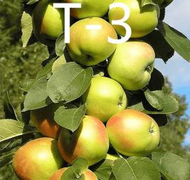 Яблоня Т-3 колоновидная