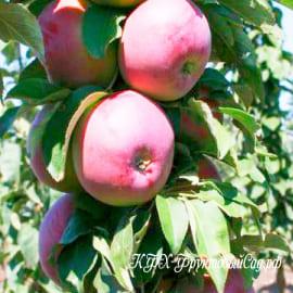 Яблоня Титания (колоновидный сорт)