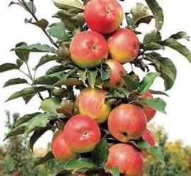 Яблоня Валюта колоновидная