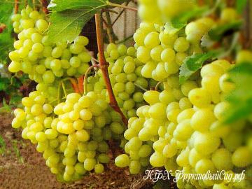 Виноград Настя (Аркадия розовая)