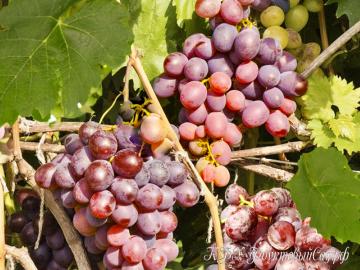 Виноград НиЗина