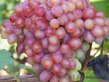 Виноград Танюша