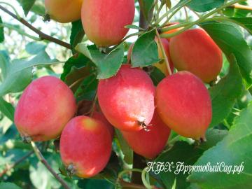 Яблоня Долго (Китайка)