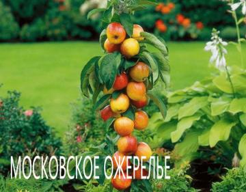 Яблоня Московское ожерелье Колоновидная