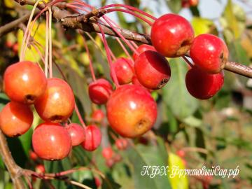 Яблоня Ранетка осенняя