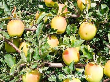 Яблоня Золотое Летнее