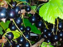 Смородина черная Перун