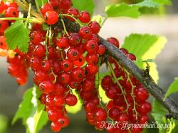 Красная смородина Ранняя сладкая