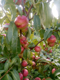 Яблони из саженцев