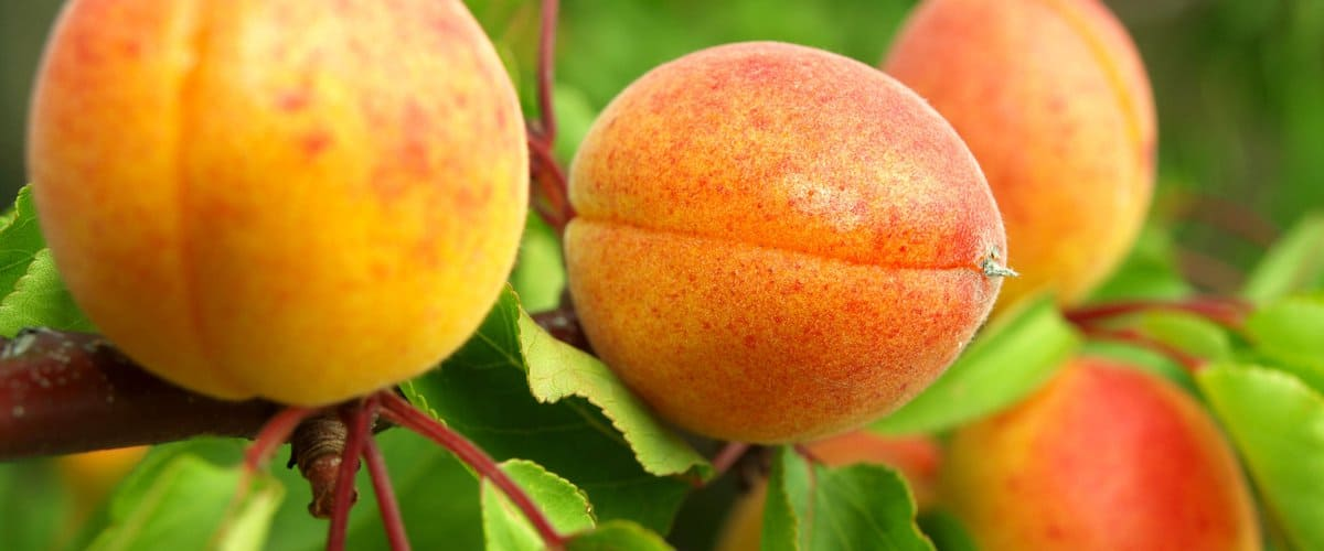 Выращивание сорта абрикоса Академик