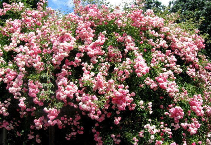 говорить роза рамблер розового цвета фото всегда гореть