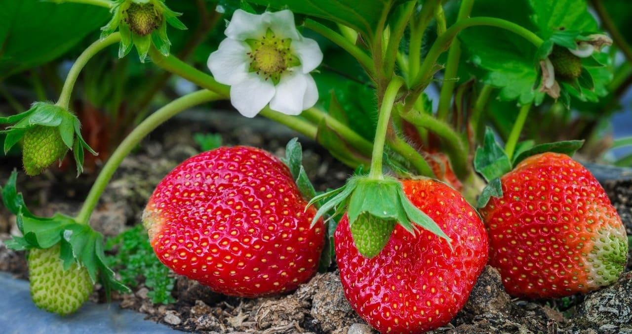 Клубника Полка: описание сорта и выращивание