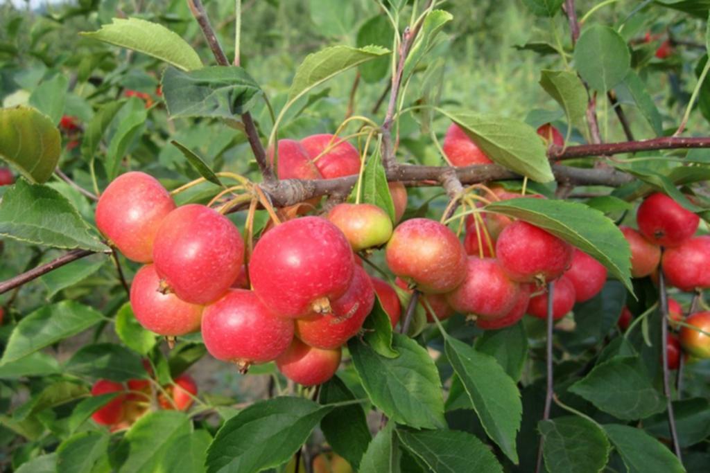 Яблоки Ранетки: фото, описание, отзывы