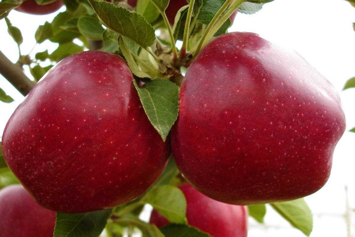 Яблоня рихард описание сорта и характеристики урожайности с фото