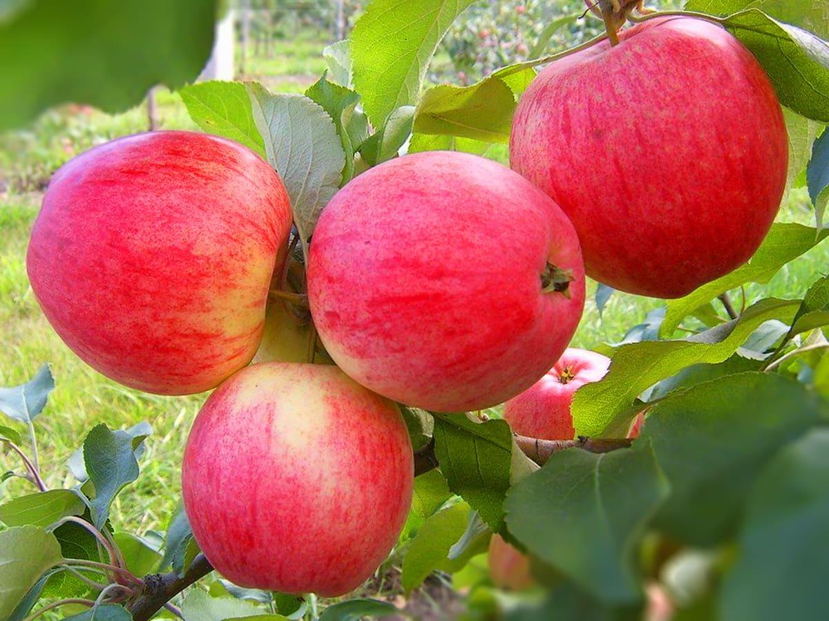 Сорт яблок которые растут на стволе